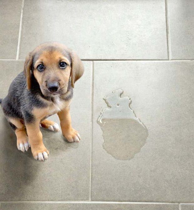 Pet Stain Removel Service